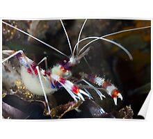Banded Cleaner Shrimp Poster