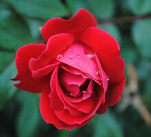 Red Rose With Raindrops by Suleyman Anadol
