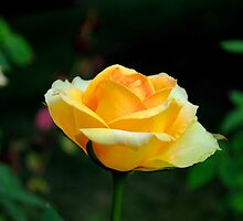 Yellow Rose in Full Bloom by Suleyman Anadol