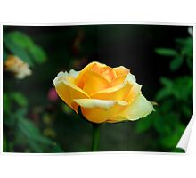 Yellow Rose in Full Bloom Poster