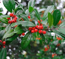 Beautiful Holly Tree with Berries by Suleyman Anadol