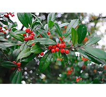 Beautiful Holly Tree with Berries Photographic Print