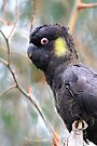 Yellow tailed Black Cockatoo  by Donovan Wilson