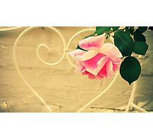 Pink Rose in Walled Garden Photographic Print