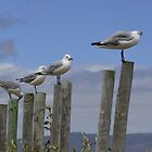 Sea gulls in Kleinmond by Pieta Pieterse