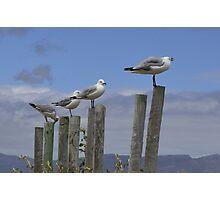 Sea gulls in Kleinmond Photographic Print