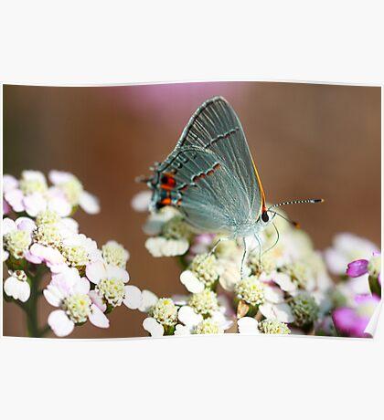 Gray Hairstreak Butterfly II Poster