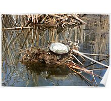 Painted Turtle on Mud and Reeds Poster