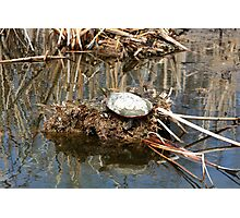 Painted Turtle on Mud and Reeds Photographic Print