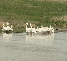 Flock of American White Pelicans by rhamm