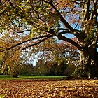 Copper Beech in the Park by Alex Cassels