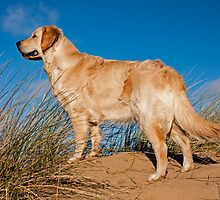 Golden Retriever by Roger Green