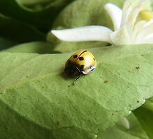 Yellow Ladybug on a Leaf by rhamm