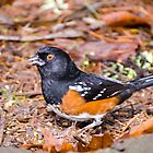 Spotted Towhee by George I. Davidson