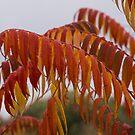 The Fiery Colors of the Autumn Sumac by Georgia Mizuleva