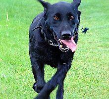 Black Labrador on the run by Barnaby Murphy
