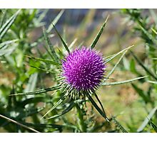 Blooming Thistle Photographic Print