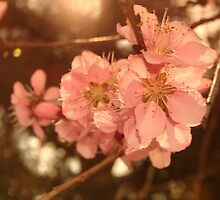 Peach Blossoms by PicsbyJody