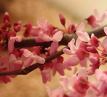 Redbud Blooms by PicsbyJody