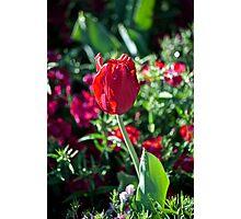 Tulip Solo Photographic Print