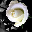 VIRGIN ROSE 1 by Elisabeth Dubois