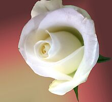 Rose 3 by Elisabeth Dubois