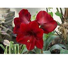 Christmas Red Amaryllis Flowers Photographic Print