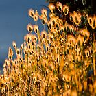 Sun-Glow  Bunny Tail Grass  [ Marlo Magic ] by helmutk