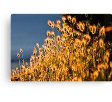Sun-Glow  Bunny Tail Grass  [ Marlo Magic ] Canvas Print