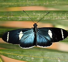 Blue and Black Butterfly by rhamm