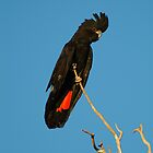 Red Tailed Black Cockatoo by Joe Mortelliti
