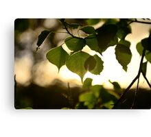 NSW scapes Canvas Print