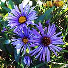 New England Aster by MSRowe Art and Design