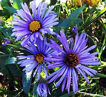 New England Aster by SRowe Art