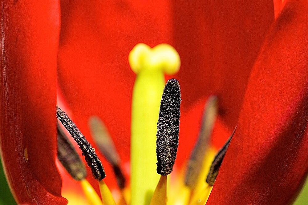Inside a Tulip by Cee Neuner