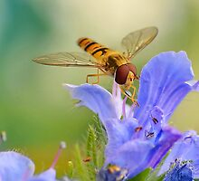 Hoverfly   [revisited] by relayer51