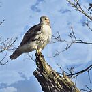 Red Tail Hawk  by Leann  Rardin