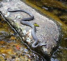 Tiger Snake (Notechis Scutatus) by Nick Delany