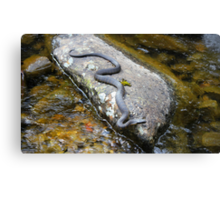Tiger Snake (Notechis Scutatus) Canvas Print