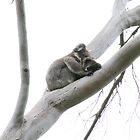 Koala and baby by indiafrank
