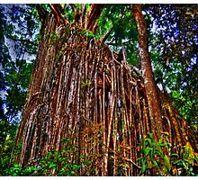 Curtain Fig Tree Photographic Print