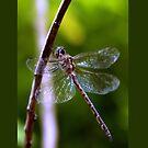 Dragonfly by Elisabeth Dubois
