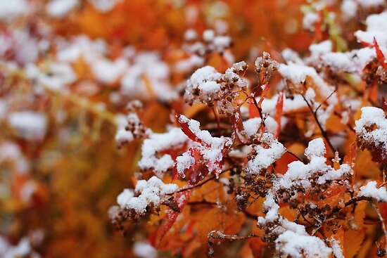 Jack Frost Nipping at Your Nose by Laura-Lise Wong