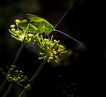 Katydid on Fennel by Maree  McCarthy