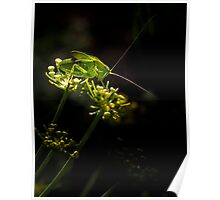 Katydid on Fennel Poster