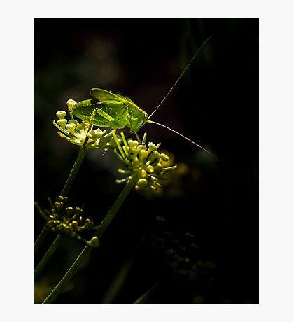 Katydid on Fennel Photographic Print