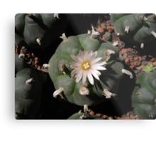 Unarmed cactus Metal Print