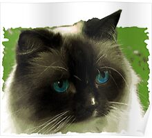 Awesome Ragdoll Cat! Poster