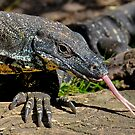 Lace Monitor by Tom Newman
