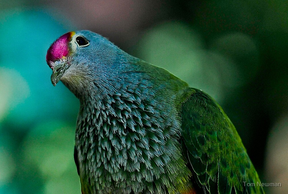 Rose Crowned Fruit Dove by Tom Newman
